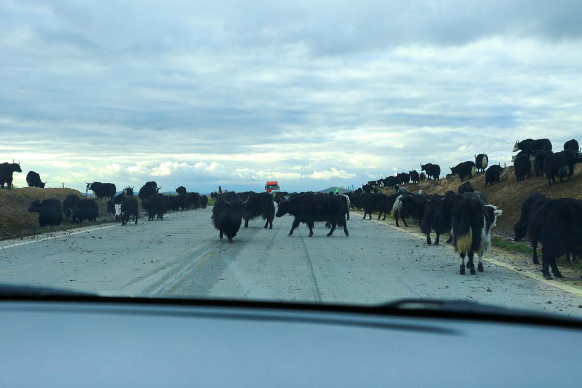 遇到牦牛群,要不等待,要不慢慢开过去,切不可按喇叭,惊着牦牛主人家要跟你急的。咱是来玩儿的,不是来玩儿牦牛的,所有小心为妙。