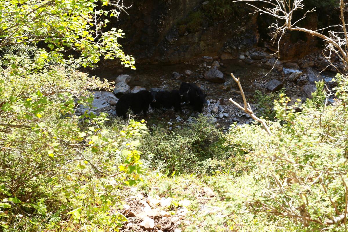 一群怯生的小牦牛见到我们慌不择路的朝河边跑去